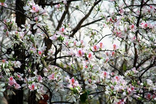 Sắc hoa ban trắng- đại diện cho người con gái thuần khiết, dịu dàng
