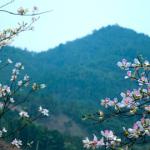 Du lịch Mai Châu đắm say vào vẻ đẹp của hoa ban Tây Bắc
