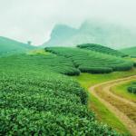 Ngắm những đồi chè xanh mướt của cao nguyên Mộc Châu