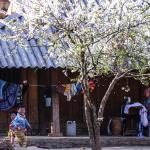 Du lịch Mộc Châu ngắm mùa hoa mận tuyệt đẹp