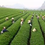 Say đắm bên tách trà ô long nơi cao nguyên Mộc Châu
